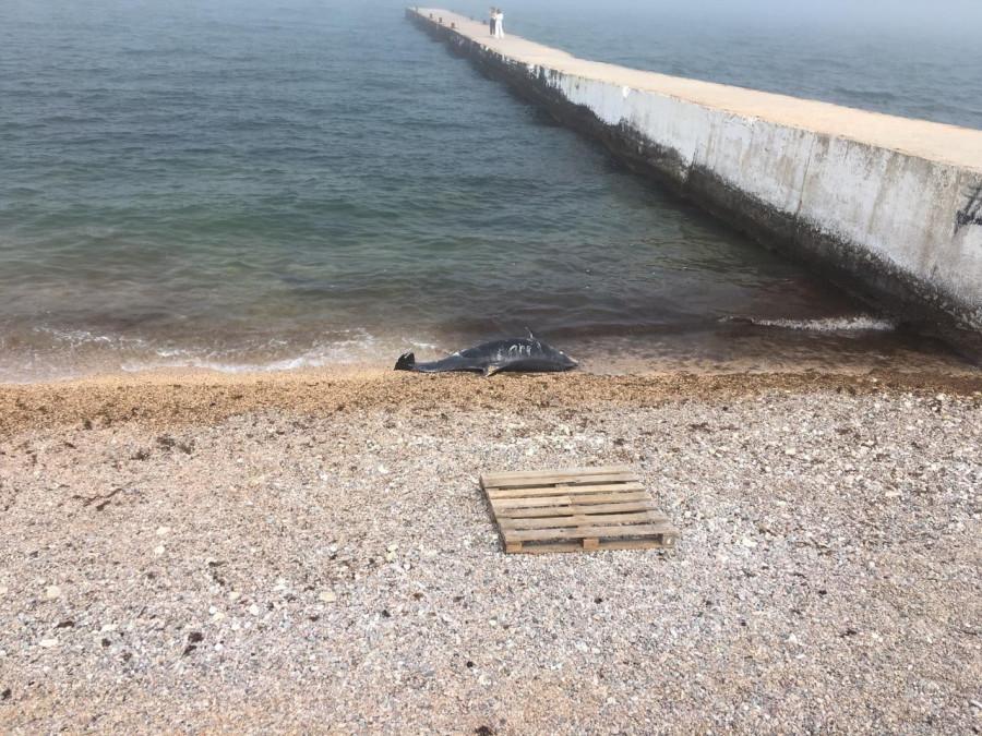 ForPost - Новости : В Севастополе на пляже несколько часов пролежал мертвый дельфин