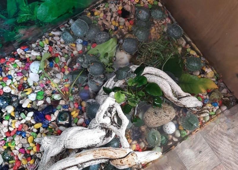 ForPost - Новости : В Севастополе выбросили 40 черепашек