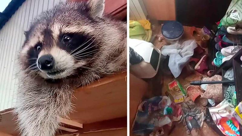 ForPost - Новости : «Кто там енота хочет завести?!»: как Илюша с собратьями устроили погром в доме. Видео