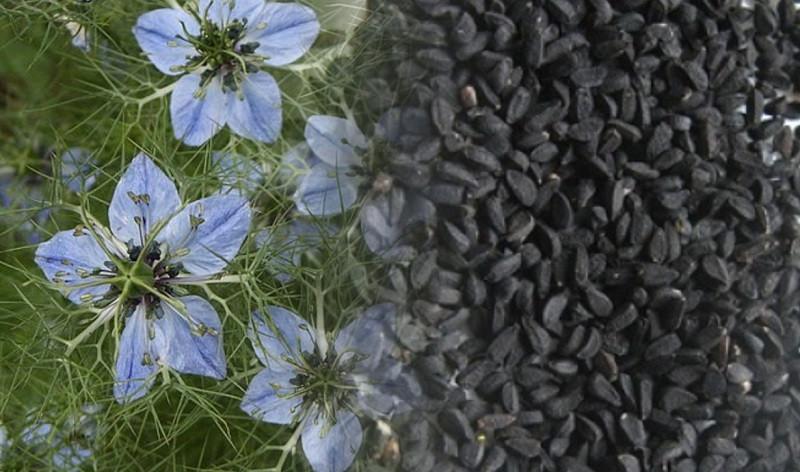 ForPost - Новости : Лечить коронавирус предложили чернушкой посевной