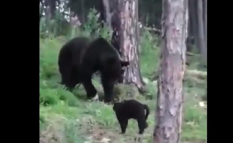 ForPost - Новости : «Вася, успокойся!»: домашний кот спас хозяев от медведя и попал на видео