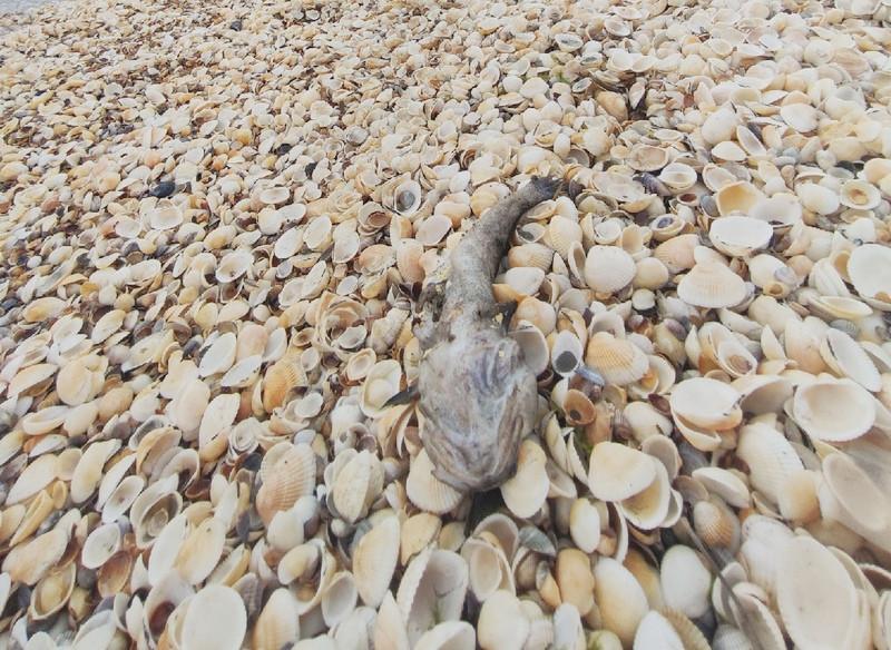 ForPost - Новости : Крымские пляжи завалило мертвой рыбой