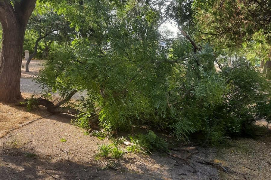 ForPost - Новости : Упавшая ветка софоры перекрыла дорожку в севастопольском парке