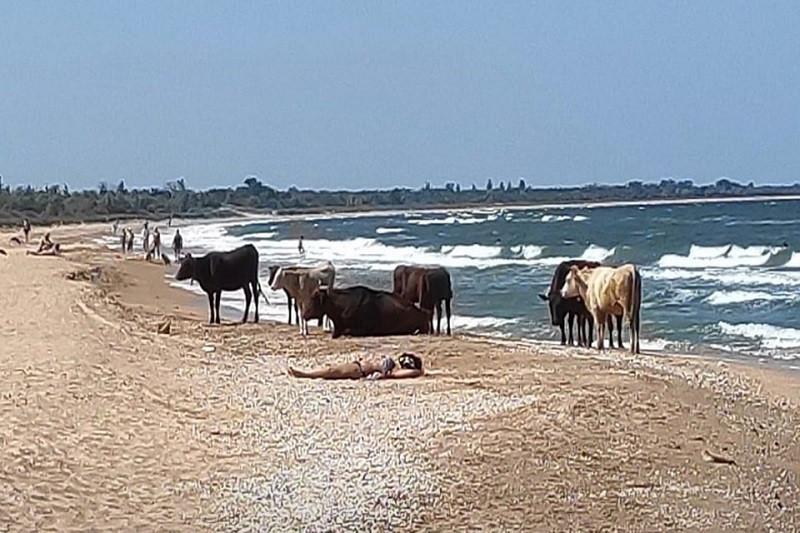 ForPost - Новости : На пляже в Крыму вместе с людьми загорают телки