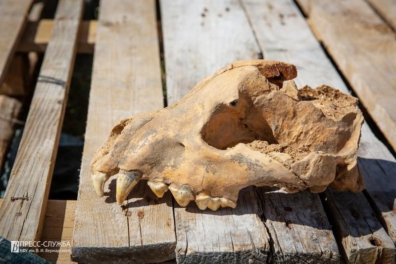 ForPost - Новости : В знаменитой крымской пещере найден череп гигантской гиены