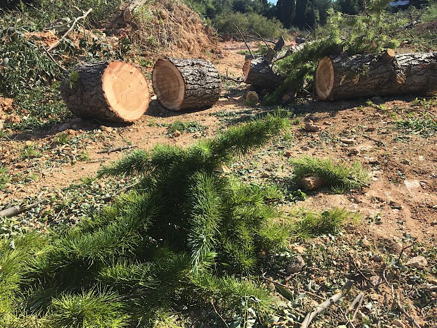 ForPost - Новости : Теперь школа водолазов: над севастопольскими деревьями нависла угроза