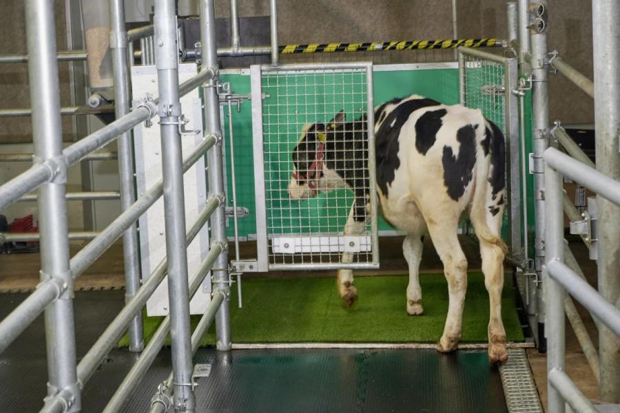 ForPost - Новости : Учёные научили коров ходить в туалет, чтобы спасти мир