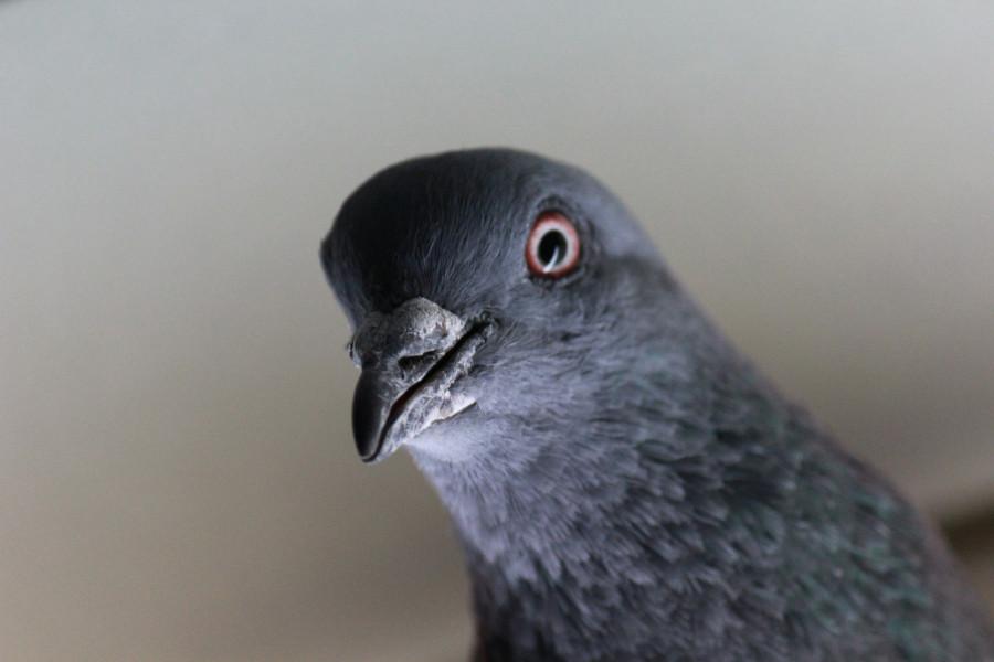 ForPost - Новости : В США на борьбу с террористами отправят голубей