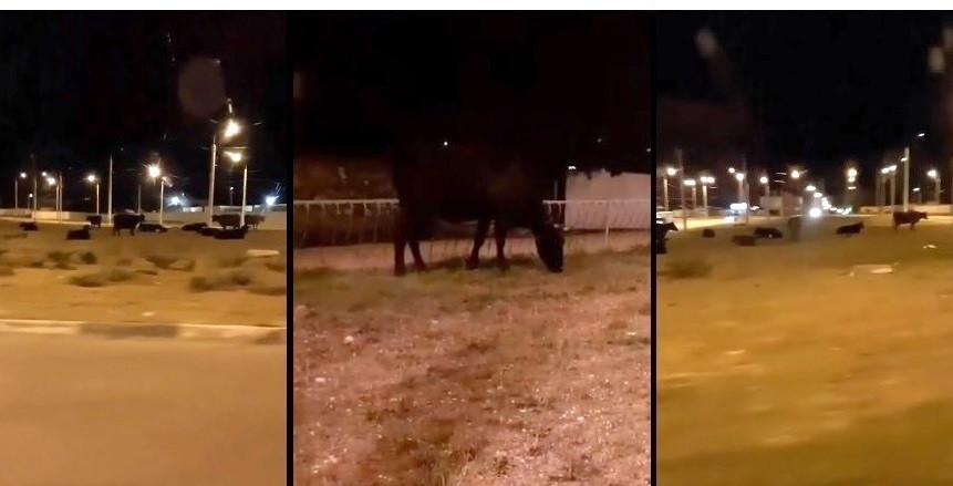 ForPost - Новости : В Севастополе неизвестный приспособил под пастбище развязку «огурец»