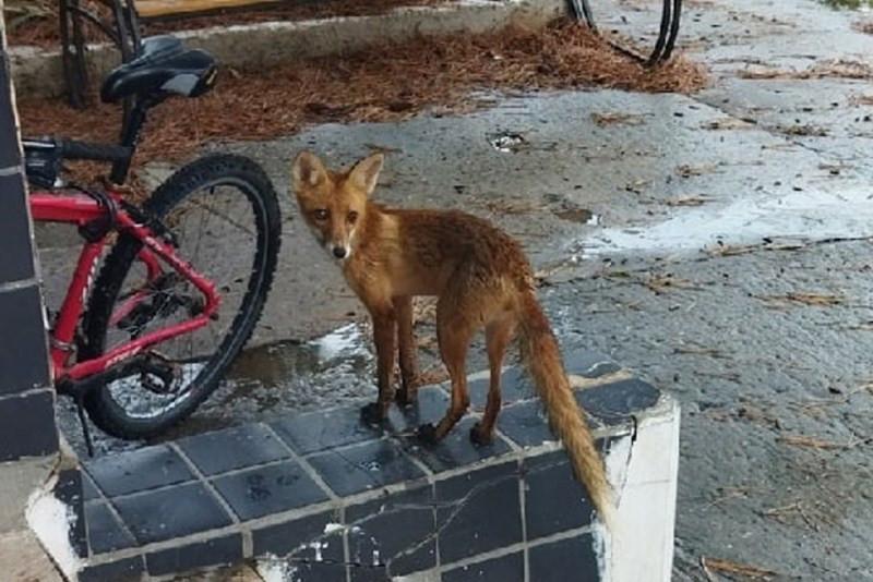 ForPost - Новости : В крымской больнице поселился лисёнок