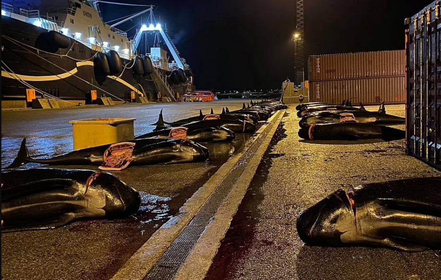 ForPost - Новости : Островитяне убили ещё более 50 дельфинов